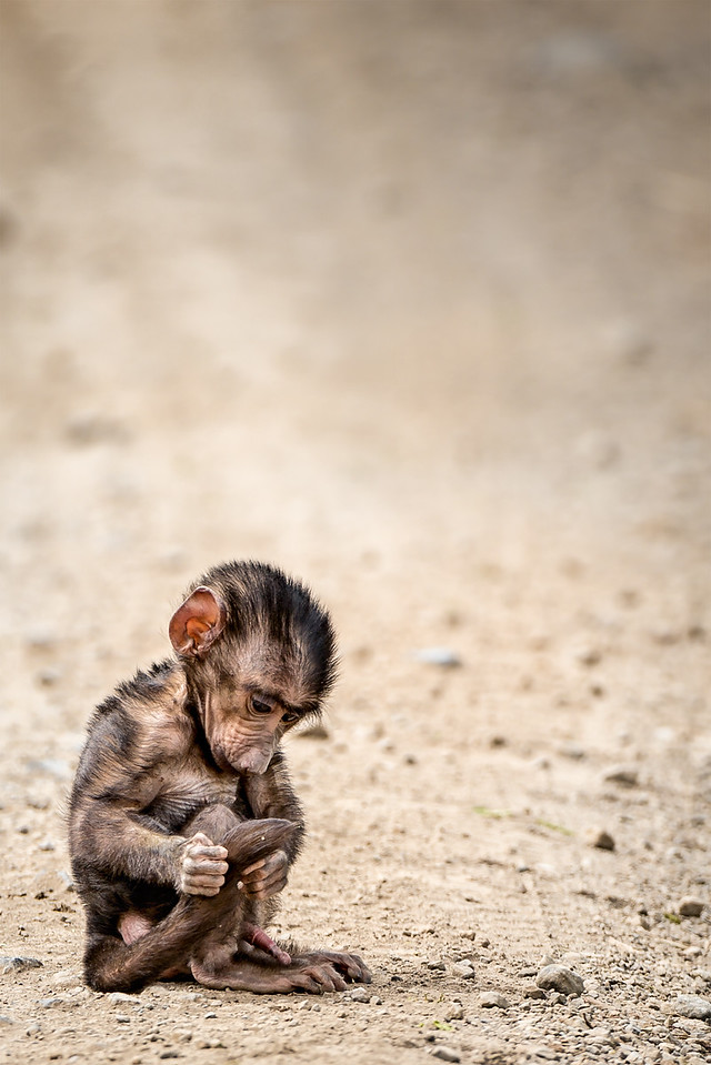 Young baboon examines his tail