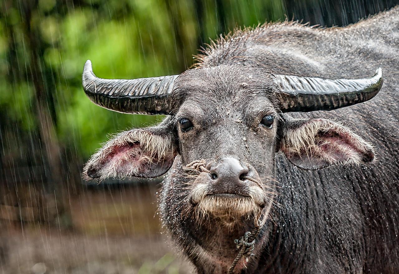 Horned cow near Banteay Srei, Cambodia