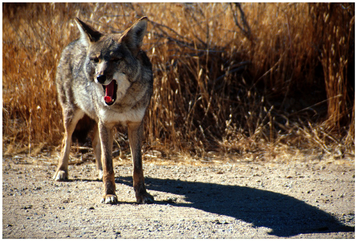 Coyote (Canis latrans).  Joshua Tree National Park, California.