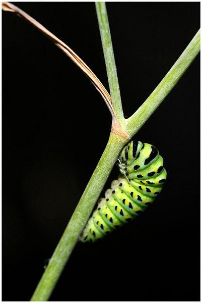 Swallowtail chrysalis.  San Ysidro Canyon, Montecito, California.