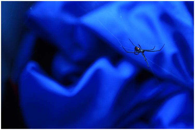 Black Widow spider.  Catalina Island, California.