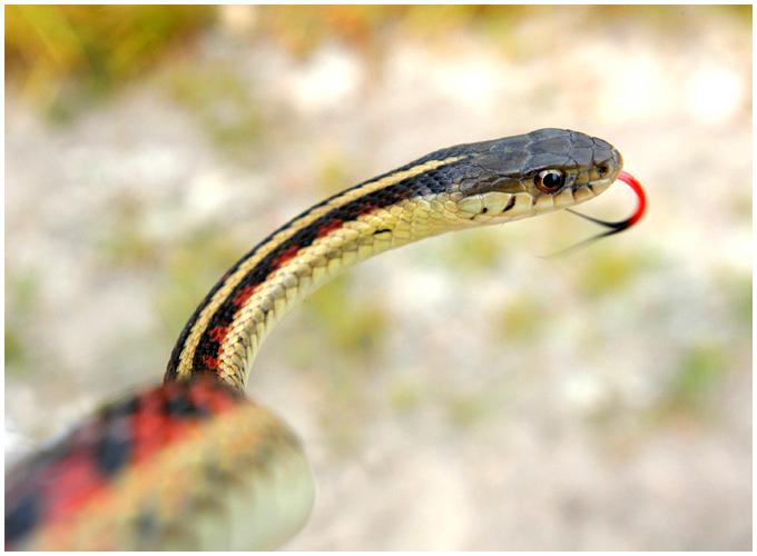 Terrestrial Garter Snake (Thamnophis elegans).  Platte River, Nebraska.