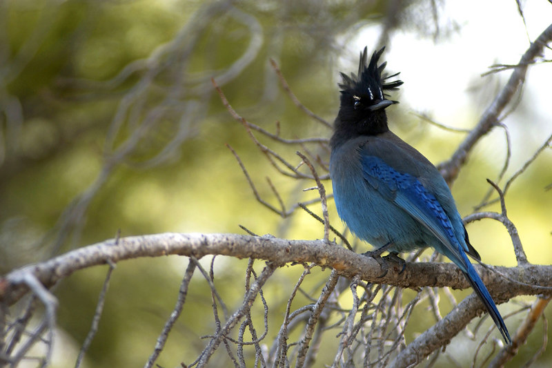 Stellar's Jay (Cyanocitta stelleri).  Rocky Mountain National Park, Colorado.