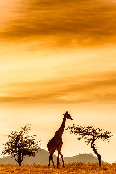 Silhouette of a Masai giraffe in the Upper Mara, Kenya