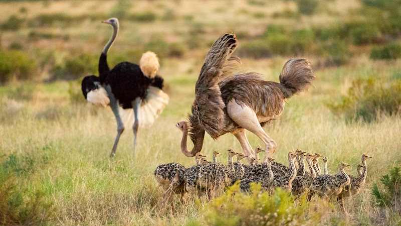 Somali Ostrich pair trying to wrangle 21 chicks in Samburu, Kenya