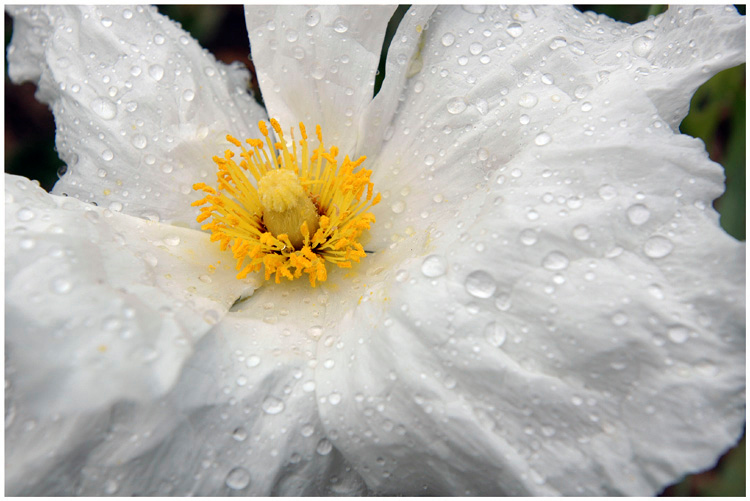 Matilija Poppy, after a rare July shower.  Santa Barbara, California.