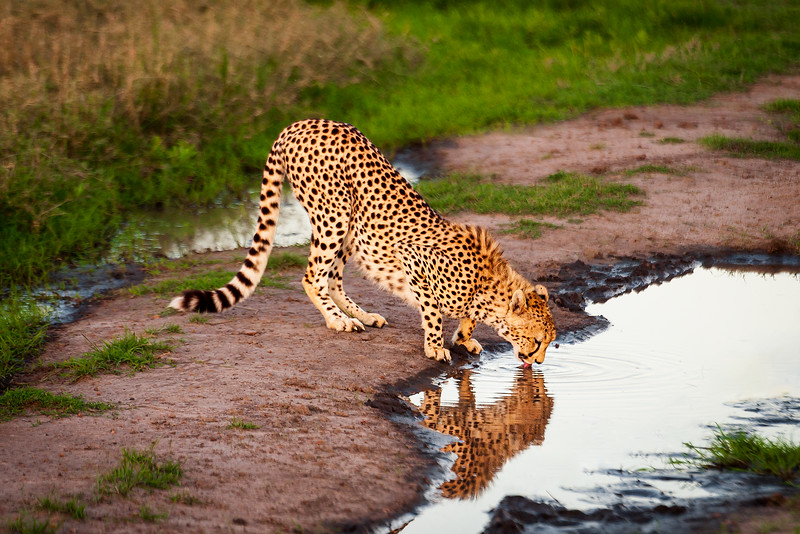 Male cheetah stops for a drink in the Lower Mara, Kenya