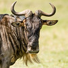 Gnu, or Wildebeest, in the Upper Mara, Kenya