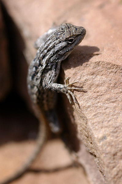 Side-blotched Lizard.  Flagstaff, Arizona.