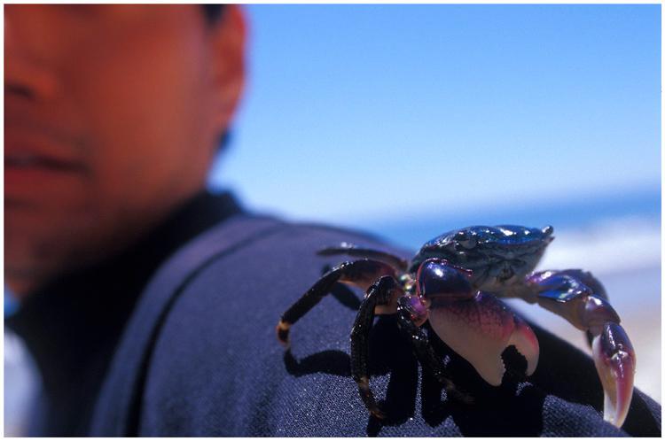 Lined-shore crab (and Homo sapien).  Gaviota Coast, California.
