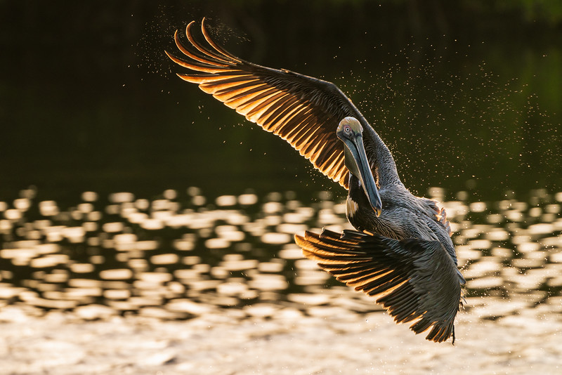 Brown Pelican swoops in for the dive at J.N. Ding Darling Reserve on Sanibel Island, Florida