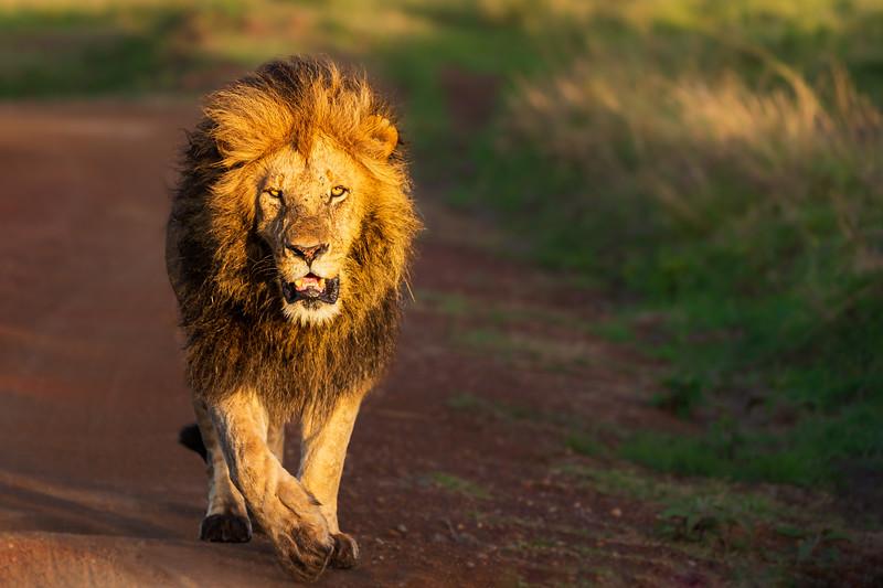Adult male lion walking at dawn in the Mara Triangle, Kenya