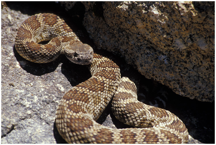 Northern Pacific rattle snake.  Southern Sierra Nevada, California.