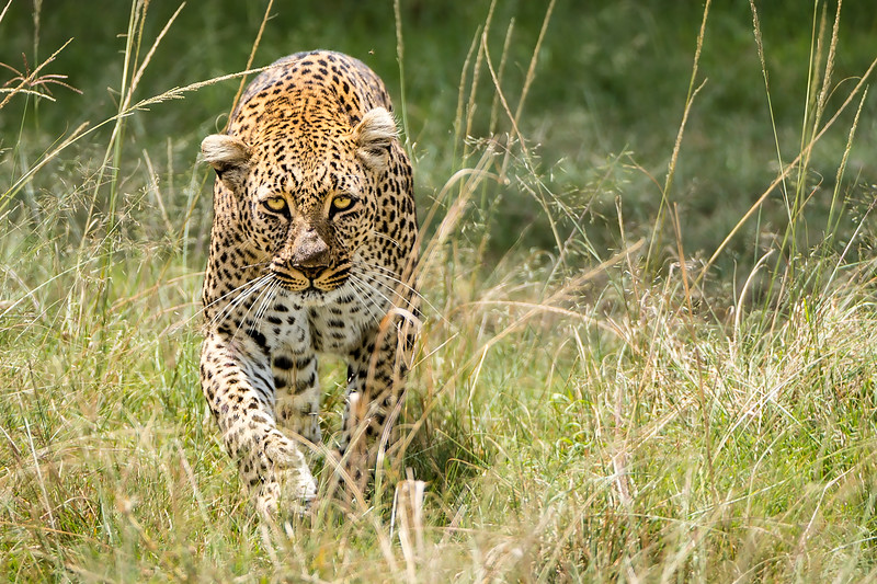 Leopard approaches in the grass in the Upper Mara, Kenya