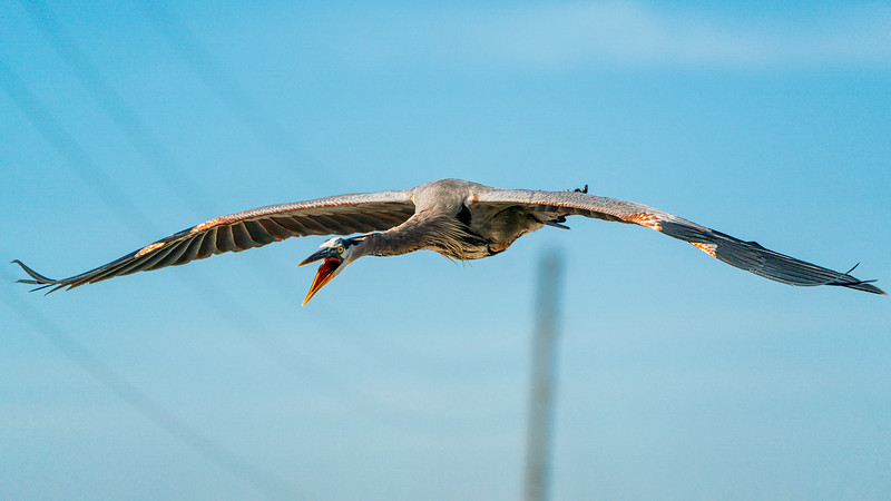 Angry Great Blue Heron does a flyby to warn me away at Lake Apopka, Florida