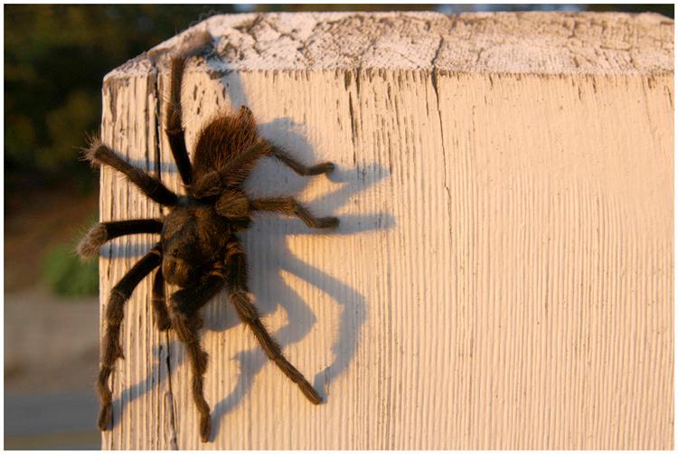 Tarantula.  Santa Barbara, California.
