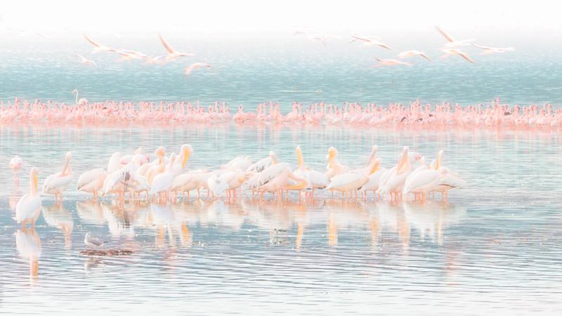 White pelicans, Lesser and Greater Flamingos at Lake Nakuru, Kenya