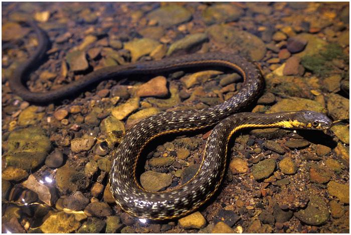 Aquatic two-stripe garter snake. Sespe Creek, Ventura County, California.