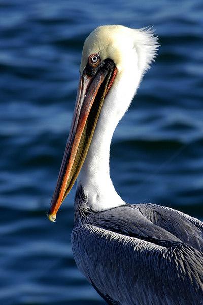 Brown Pelican (Pelecanus occidentalis californicus).  Santa Barbara, California.