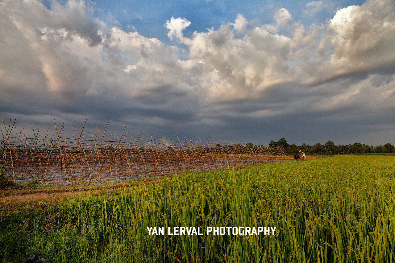 Rice fields in Tay Ninh Province