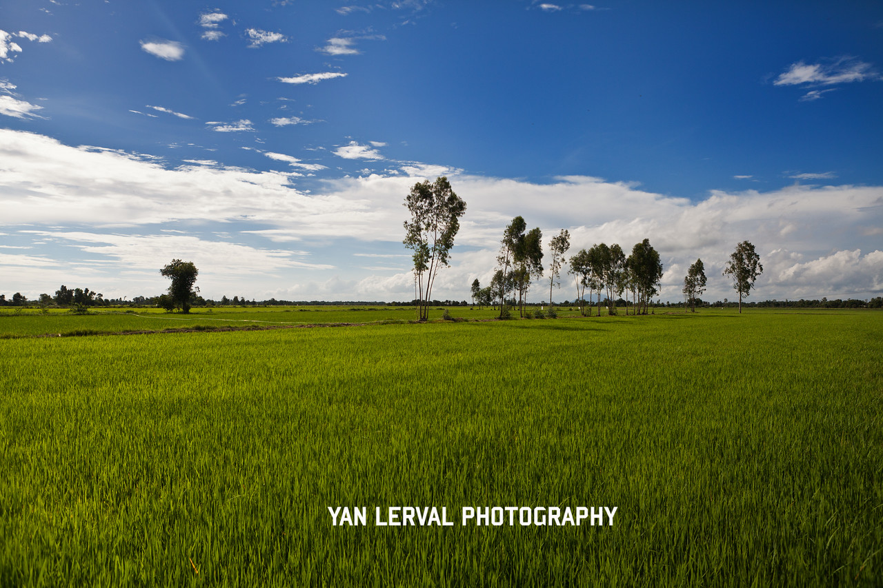 Green ricefield in Tay Ninh province, Vietnam