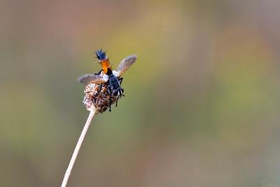 Parasitfluga