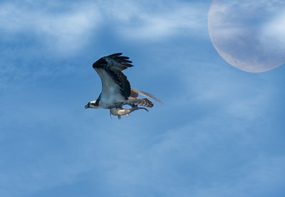 An osprey over Crane Prairie Reservoir, Central Cascades of Oregon