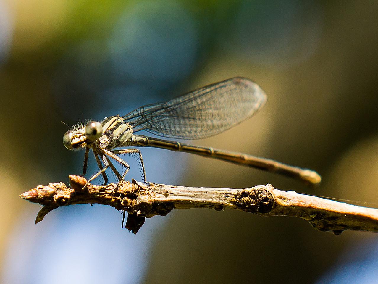 Pachydiplax longipennis Female