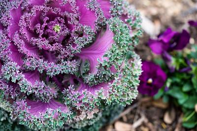 Purple Lettuce