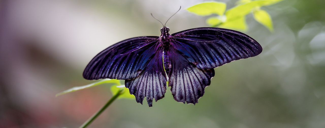 The Great Mormon (Papilio memnon) is a large butterfly native to southern Asia that belongs to the swallowtail family. It is widely distributed and has thirteen subspecies. The female is polymorphic and with mimetic forms.