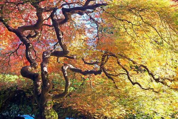 Japanese Maple Japanese Gardens Portland