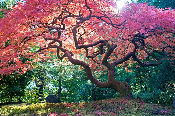 Japanese Maple at Japanese Gardens