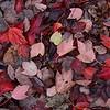 Autumn Leaves DSC_1426