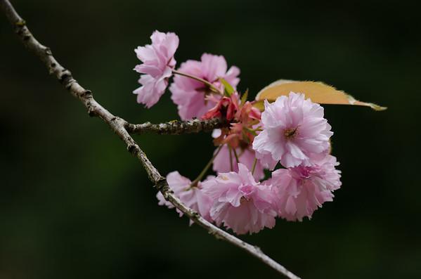 Japanese Garden Blossom