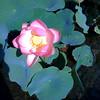Winking Lotus, Lan Su   © Alan Mela