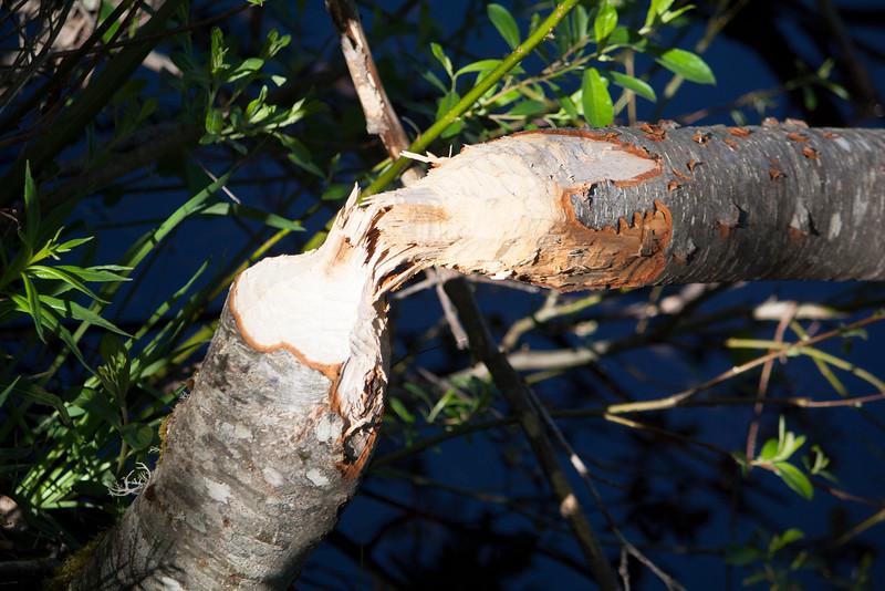 Beaver felled tree