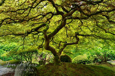 Famous Maple Tree  in Japanese Tea Garden