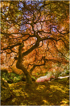 Japanese Maple, Portland