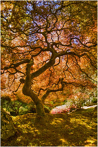 Japanese Maple, Portland