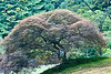 One of the magnificent Japanese Maples in the garden.