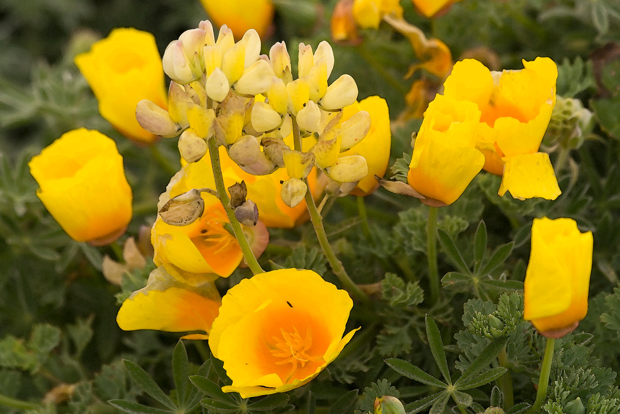 California Poppies and Lupines, Bodega Head (digital art)