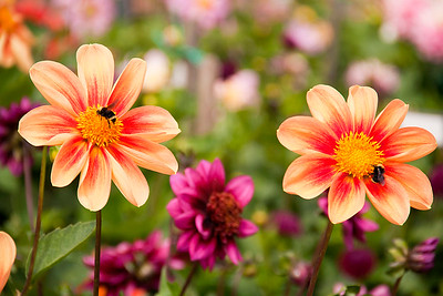 Twin Dahlias with Bees