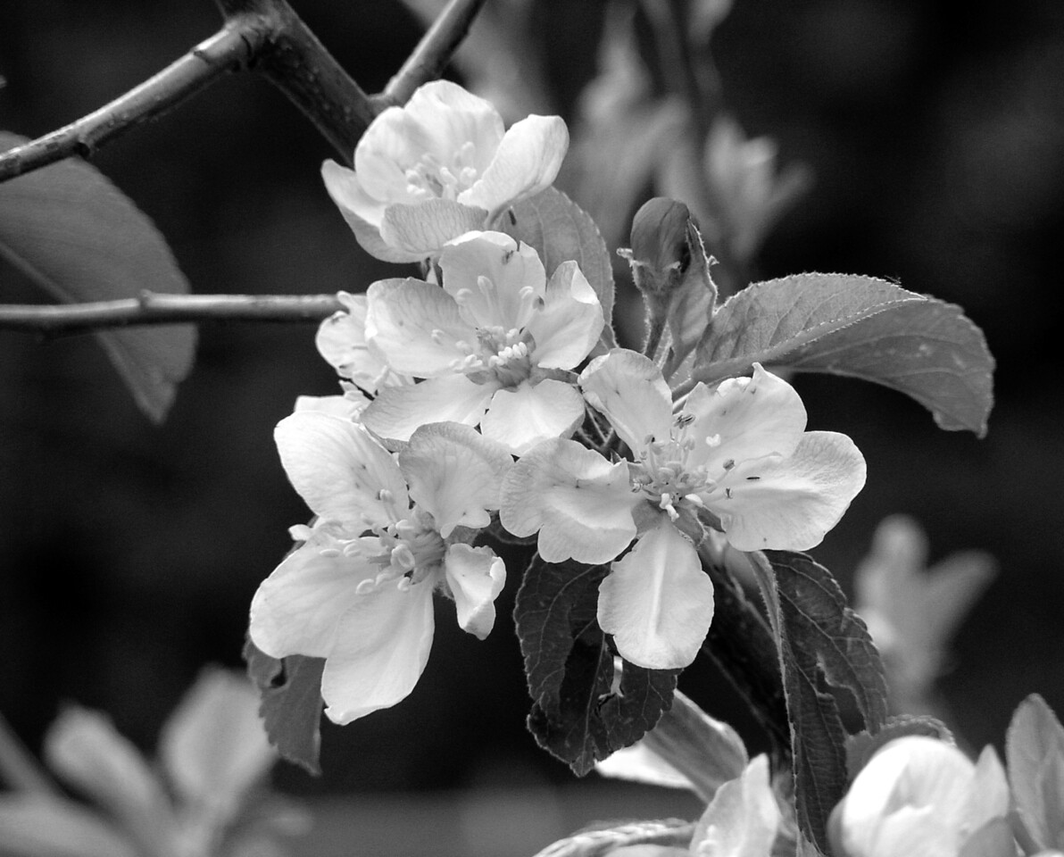 "NPG-041903-06BW  ""Apple Blossom Lattice"" Pink Lady apple tree, Shingle Springs, California.  Black-and-white image."