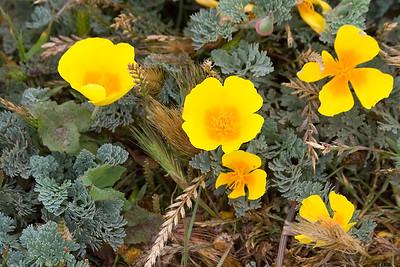 Poppies at Bodega Head