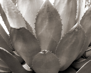 """NPG-031404-15sepia """"Agave"""" Capitol Gardens, Sacramento, California.  Sepia-toned image."""