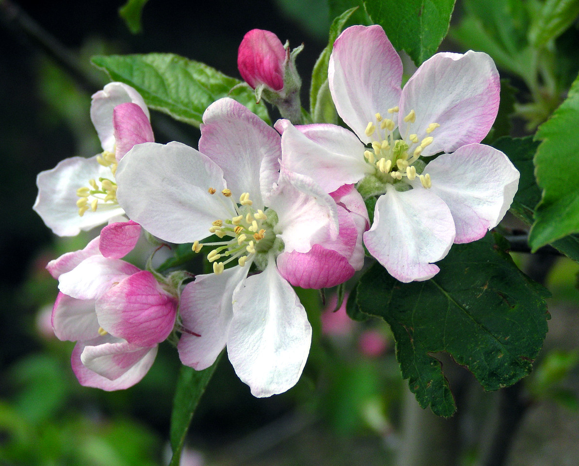 "NPG-041903-01  ""Pink Lady Blossoms""  Pink Lady apple tree, Shingle Springs, California"