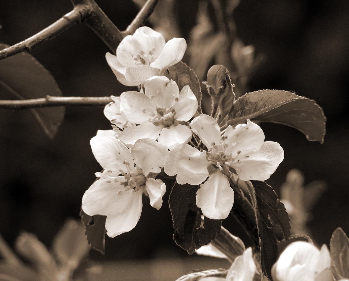 "NPG-041903-06-sepia ""Apple Blossom Lattice"" Pink Lady apple tree, Shingle Springs, California.  Sepia-toned image."