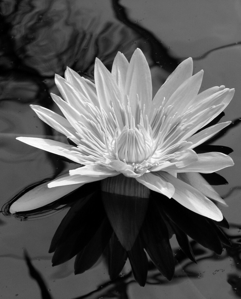 "NPG-101103-09BW ""Softlily"" San Francisco Conservatory of Flowers, San Francisco, California. Black-and-white image."
