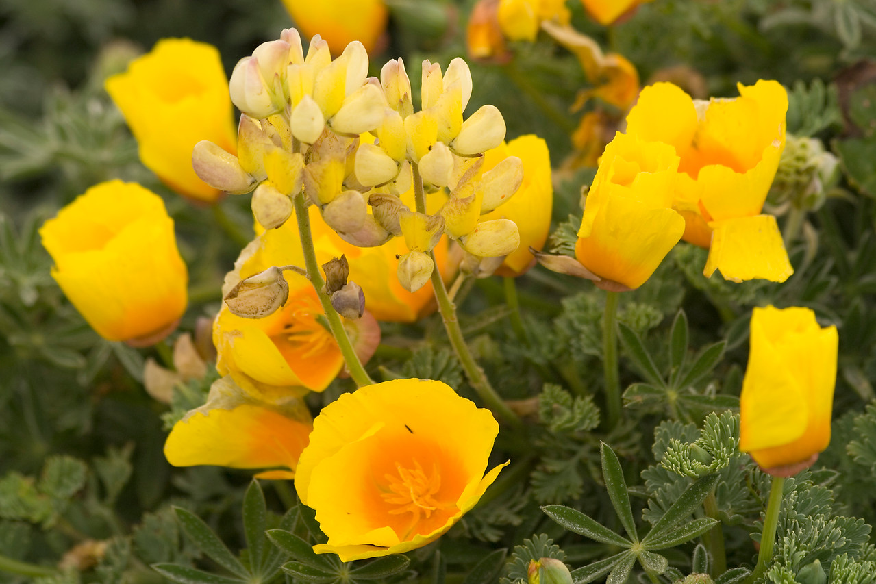 California Poppies and Lupines, Bodega Head