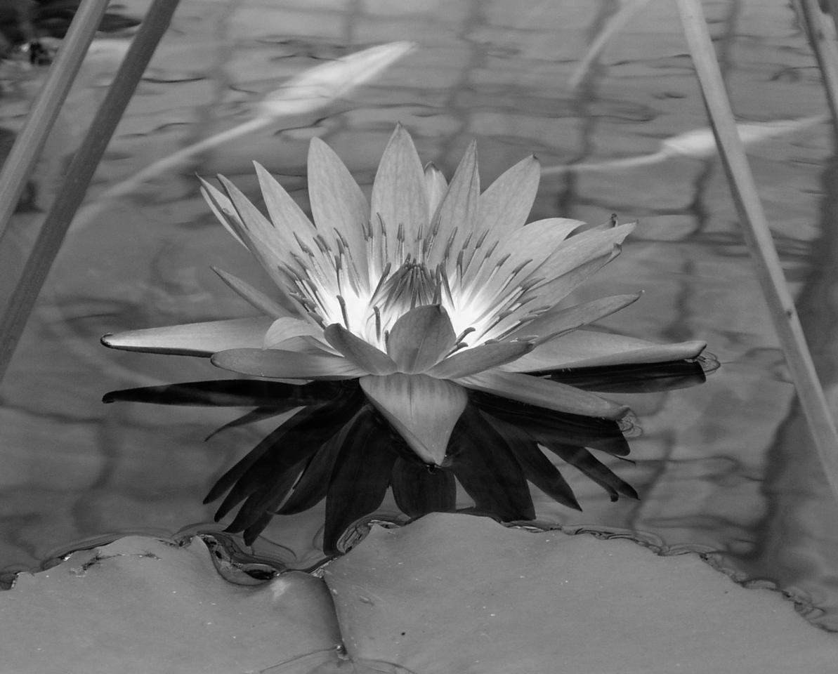 "NPG-101103-16BW  ""Glowlily"" San Francisco Conservatory of Flowers, San Francisco, California.  Black-and-white image."